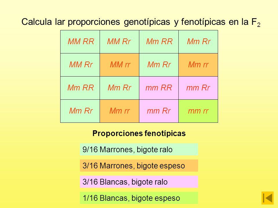 Proporciones genotípicas 1/16 MM RR MM RR MM Rr Mm RR Mm Rr MM Rr MM rr Mm Rr Mm rr Mm RR Mm Rr mm RR mm Rr Mm Rr Mm rr mm Rr mm rr Calcula lar proporciones genotípicas y fenotípicas en la F 2 1/16 MM rr 1/16 mm RR 1/16 mm rr 1/8 MM Rr 1/8 Mm RR 1/8 Mm rr 1/8 mm Rr 1/4 Mm Rr