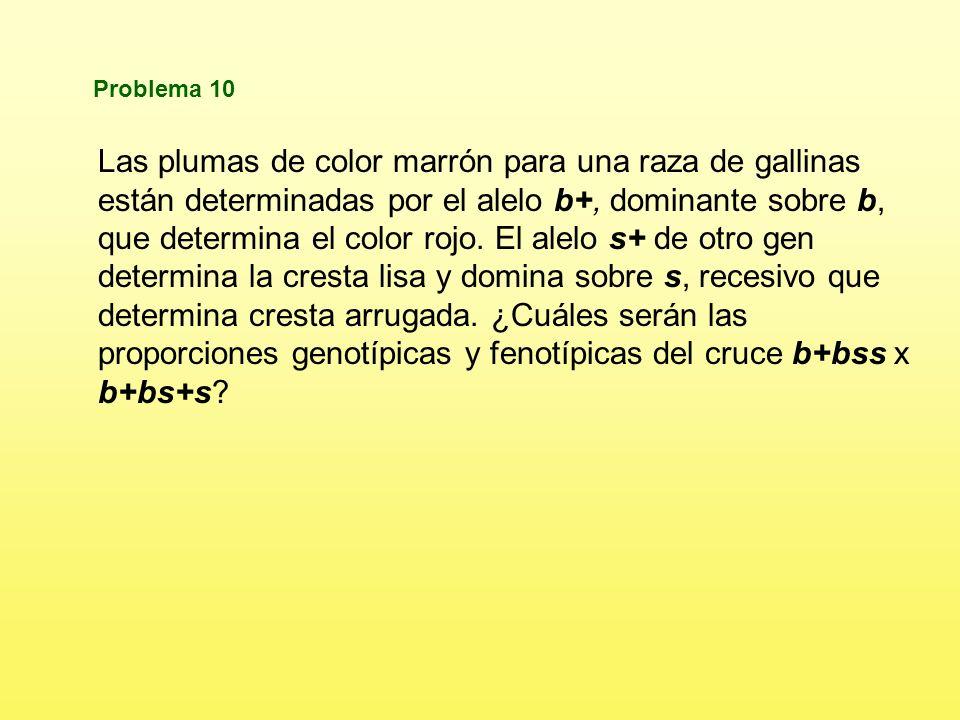 Proporciones fenotípicas 9/16 Marrones, bigote ralo 3/16 Marrones, bigote espeso 3/16 Blancas, bigote ralo 1/16 Blancas, bigote espeso MM RR MM Rr Mm RR Mm Rr MM Rr MM rr Mm Rr Mm rr Mm RR Mm Rr mm RR mm Rr Mm Rr Mm rr mm Rr mm rr Calcula lar proporciones genotípicas y fenotípicas en la F 2