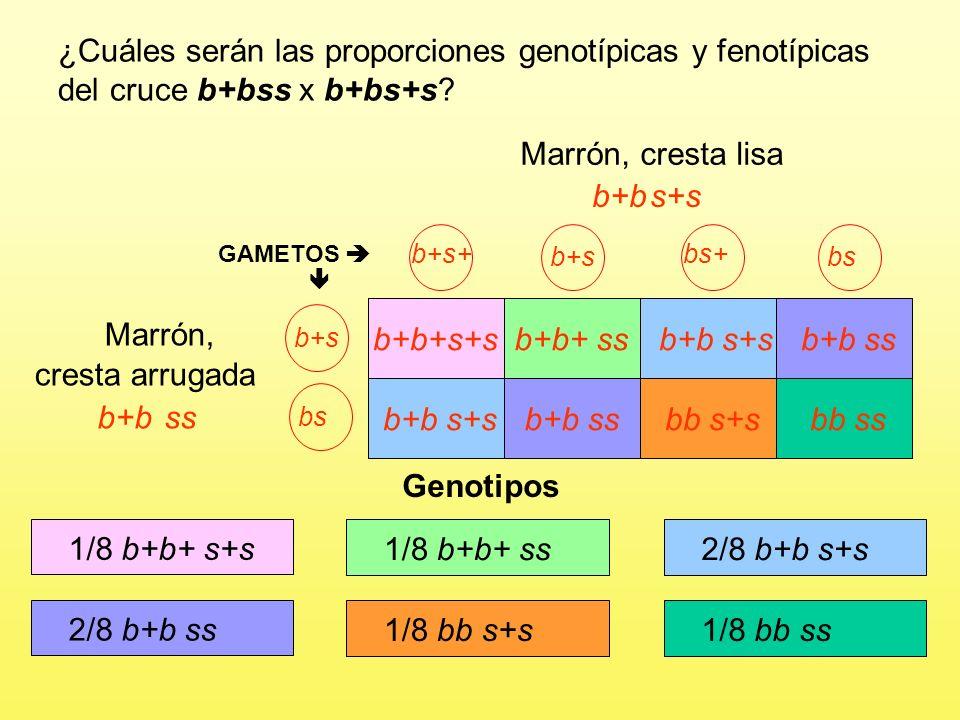 Marrón, cresta lisa b+s+ b+s bs+ bsb+s GAMETOS b+b+s+sb+b+ ssb+b s+sb+b ss b+bs Marrón, cresta arrugada bs b+b s+sb+b ssbb s+sbb ss ¿Cuáles serán las proporciones genotípicas y fenotípicas del cruce b+bss x b+bs+s.