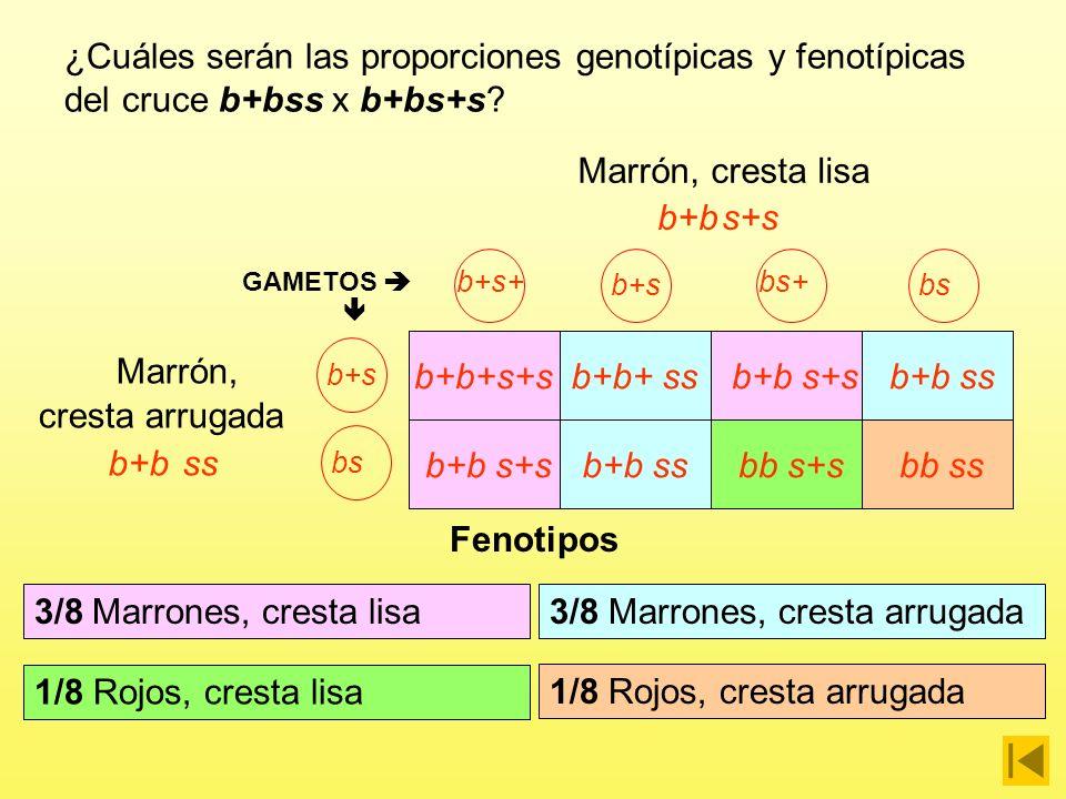 b+bs+s b+s+ b+s bs+ bsb+sbs GAMETOS b+b+s+s b+b s+s b+b+ ss b+b ss b+b s+s bb s+s b+b ss bb ss Genotipos 1/8 b+b+ s+s ¿Cuáles serán las proporciones genotípicas y fenotípicas del cruce b+bss x b+bs+s.