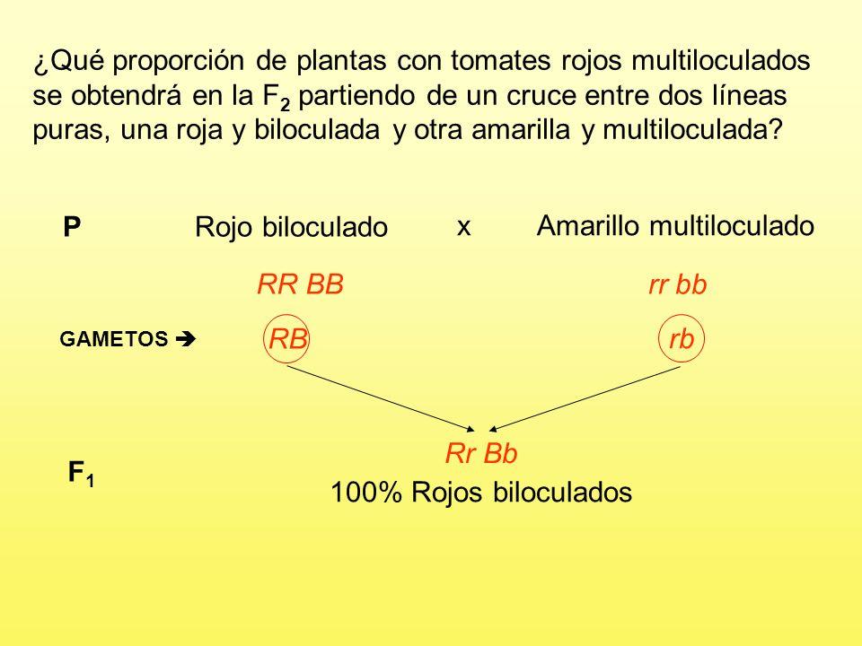 Problema 11 En el tomate, el color rojo del fruto es dominante sobre el color amarillo y la forma biloculada domina sobre la multiloculada. ¿Qué propo