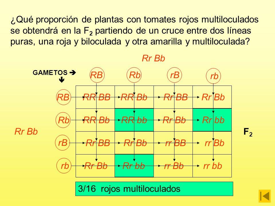Rojo biloculado xAmarillo multiloculado P RR BBrr bb GAMETOS RB F1F1 Rr Bb 100% Rojos biloculados rb ¿Qué proporción de plantas con tomates rojos multiloculados se obtendrá en la F 2 partiendo de un cruce entre dos líneas puras, una roja y biloculada y otra amarilla y multiloculada?