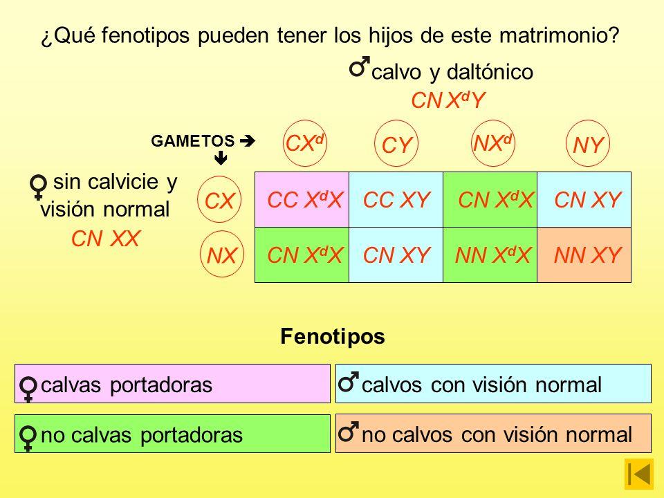 calvo y daltónico CNXdYXdY CX d CY NX d NYCX GAMETOS CC X d XCC XYCN X d XCN XY CNX sin calvicie y visión normal NX CN X d XCN XYNN X d XNN XY ¿Qué fenotipos pueden tener los hijos de este matrimonio?