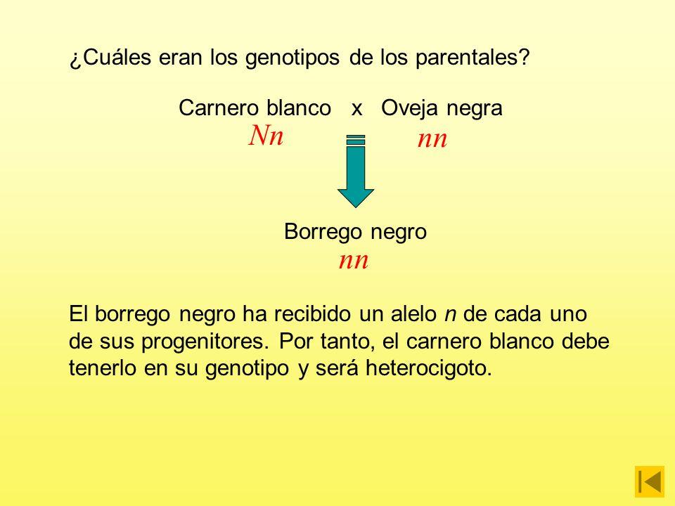 Carnero blanco x Oveja negra ¿Cuáles eran los genotipos de los parentales? Borrego negro Al ser el negro el carácter recesivo, todos los individuos qu