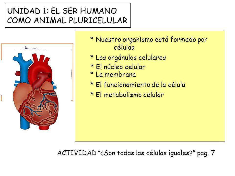 UNIDAD 1: EL SER HUMANO COMO ANIMAL PLURICELULAR * Nuestro organismo está formado por células * Los orgánulos celulares * El núcleo celular * La membr