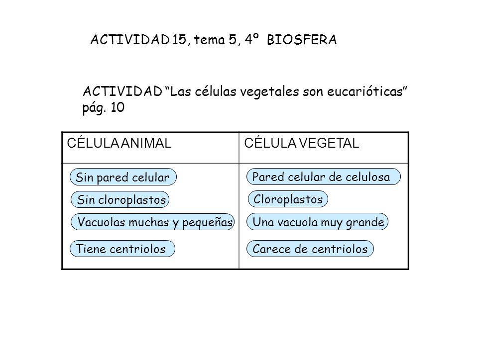 ACTIVIDAD Las células vegetales son eucarióticas pág. 10 CÉLULA ANIMALCÉLULA VEGETAL Sin pared celular Sin cloroplastos Vacuolas muchas y pequeñas Par