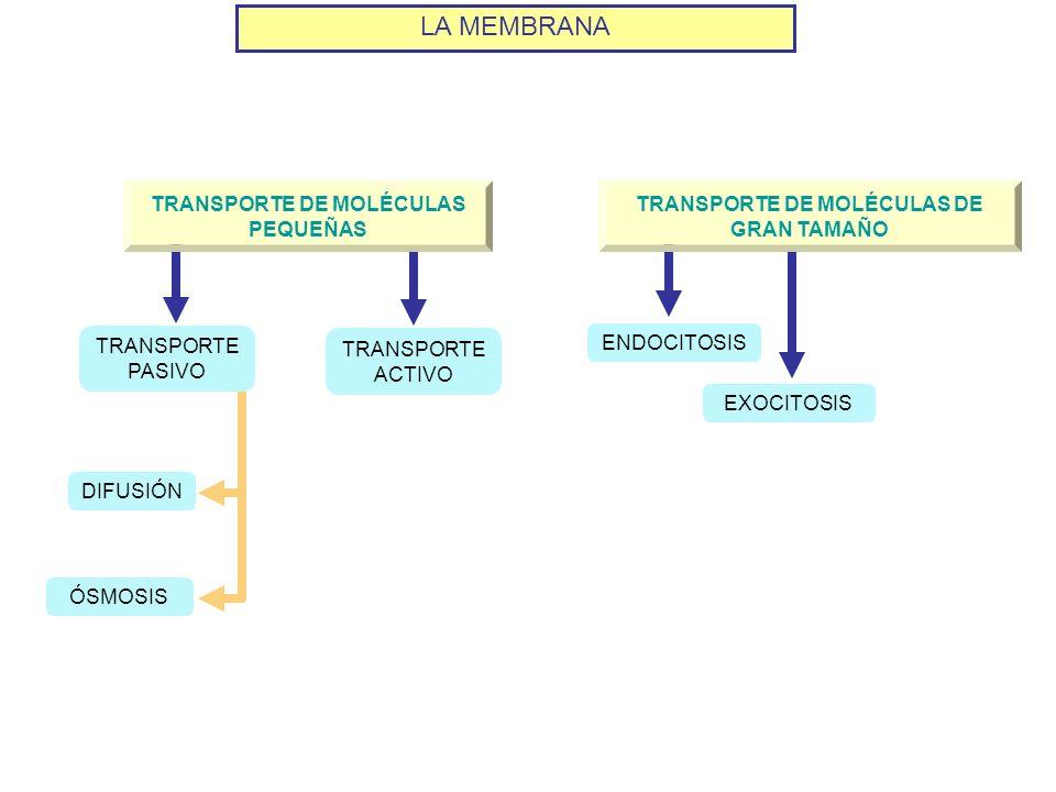 LA MEMBRANA TRANSPORTE DE MOLÉCULAS PEQUEÑAS TRANSPORTE DE MOLÉCULAS DE GRAN TAMAÑO ÓSMOSIS DIFUSIÓN EXOCITOSIS ENDOCITOSIS TRANSPORTE PASIVO TRANSPOR