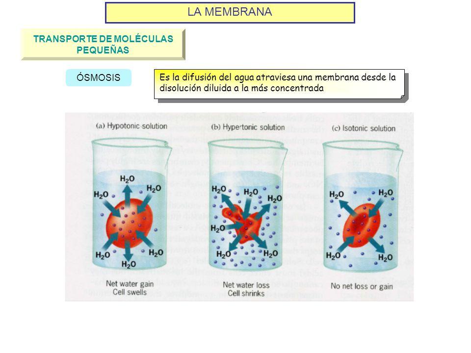 LA MEMBRANA TRANSPORTE DE MOLÉCULAS PEQUEÑAS ÓSMOSIS Es la difusión del agua atraviesa una membrana desde la disolución diluida a la más concentrada