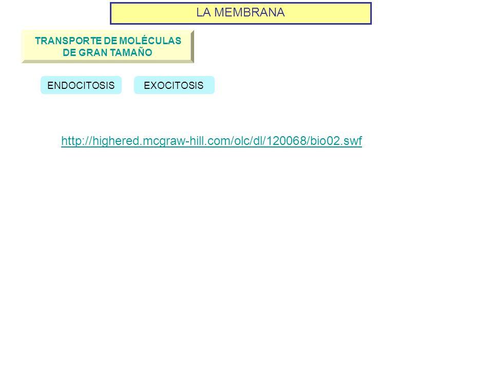 LA MEMBRANA TRANSPORTE DE MOLÉCULAS DE GRAN TAMAÑO ENDOCITOSISEXOCITOSIS http://highered.mcgraw-hill.com/olc/dl/120068/bio02.swf