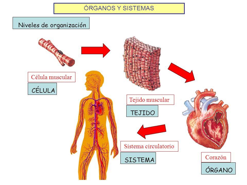 ÓRGANOS Y SISTEMAS Niveles de organización Célula muscular Tejido muscular Corazón Sistema circulatorio CÉLULATEJIDOÓRGANOSISTEMA