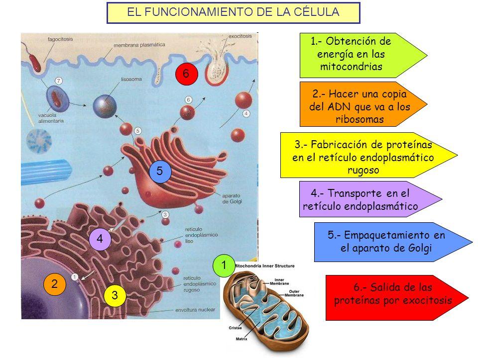 EL FUNCIONAMIENTO DE LA CÉLULA 1.- Obtención de energía en las mitocondrias 1 2.- Hacer una copia del ADN que va a los ribosomas 23 3.- Fabricación de