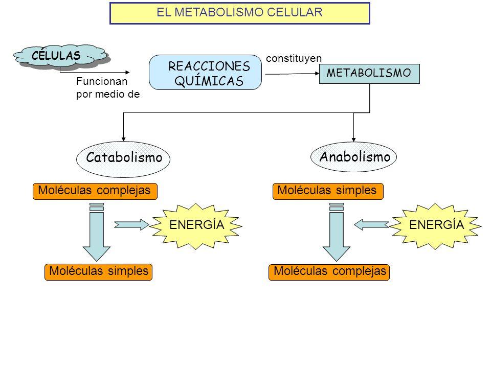EL METABOLISMO CELULAR CÉLULAS REACCIONES QUÍMICAS Funcionan por medio de METABOLISMO constituyen Catabolismo Anabolismo Moléculas complejas Moléculas