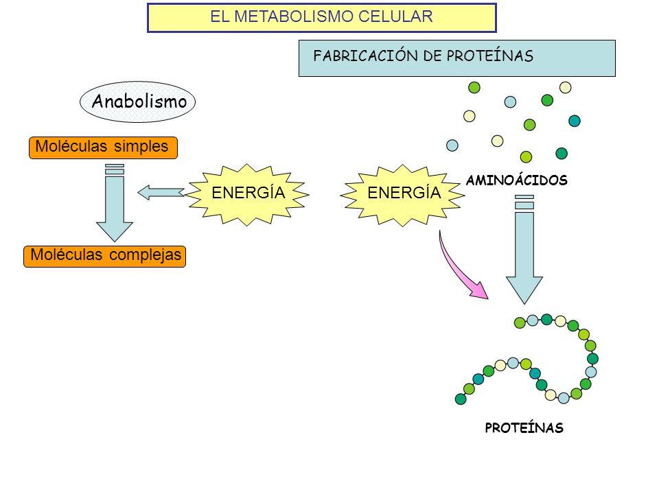 EL METABOLISMO CELULAR Anabolismo Moléculas simples Moléculas complejas ENERGÍA AMINOÁCIDOS ENERGÍA PROTEÍNAS FABRICACIÓN DE PROTEÍNAS