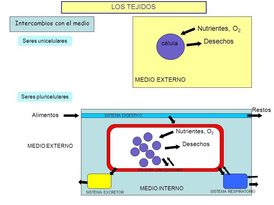 SISTEMA CIRCULATORIO MEDIO EXTERNO LOS TEJIDOS Intercambios con el medio célula Nutrientes, O 2 Desechos Seres unicelulares Seres pluricelulares Nutri