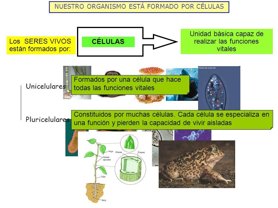 NUESTRO ORGANISMO ESTÁ FORMADO POR CÉLULAS Unidad básica capaz de realizar las funciones vitales CÉLULAS Los SERES VIVOS están formados por: Unicelula