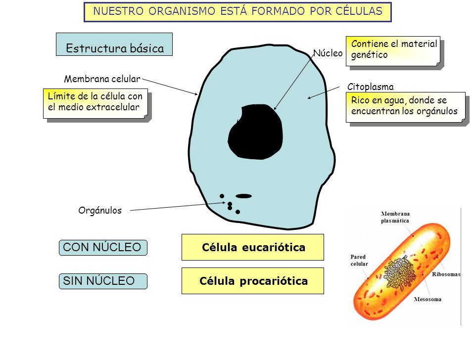 NUESTRO ORGANISMO ESTÁ FORMADO POR CÉLULAS Membrana celular Citoplasma Núcleo Orgánulos Estructura básica Límite de la célula con el medio extracelula