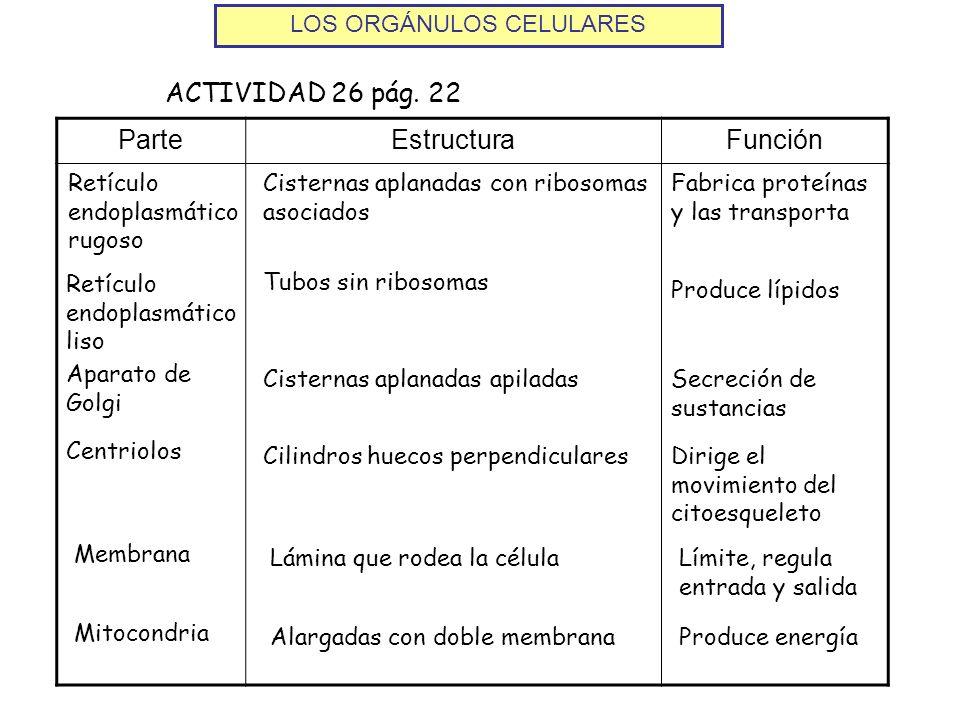 ParteEstructuraFunción ACTIVIDAD 26 pág. 22 Retículo endoplasmático rugoso Cisternas aplanadas con ribosomas asociados Fabrica proteínas y las transpo