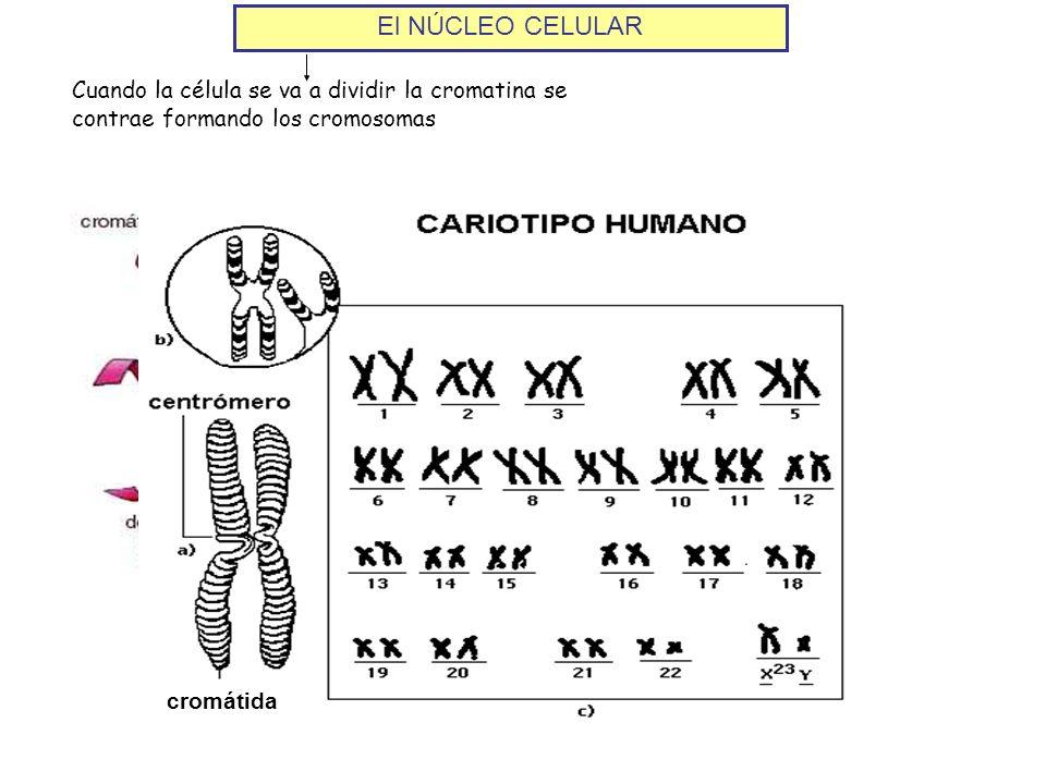 El NÚCLEO CELULAR Cuando la célula se va a dividir la cromatina se contrae formando los cromosomas cromátida