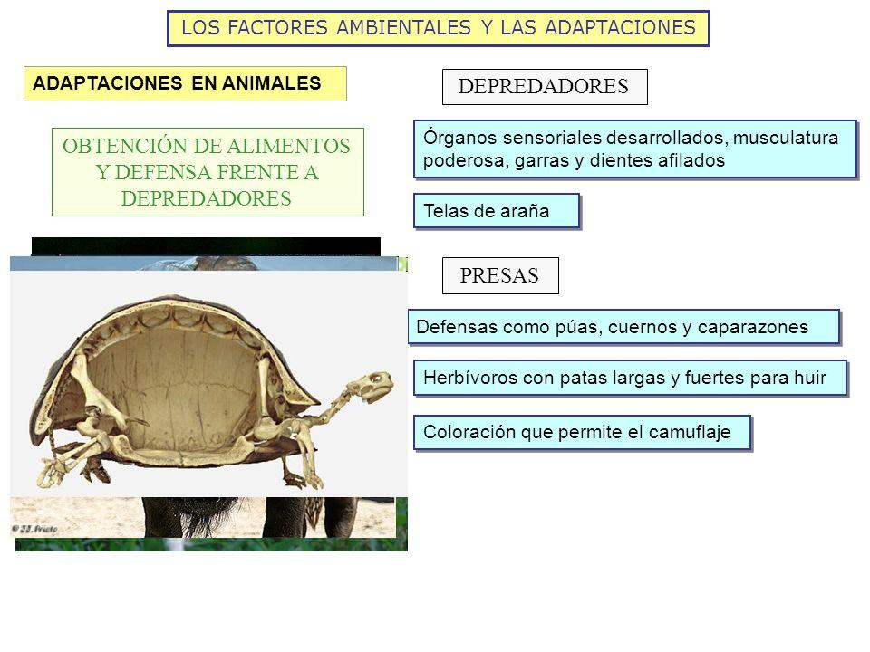 LOS FACTORES AMBIENTALES Y LAS ADAPTACIONES ADAPTACIONES EN ANIMALES OBTENCIÓN DE ALIMENTOS Y DEFENSA FRENTE A DEPREDADORES DEPREDADORES Órganos senso