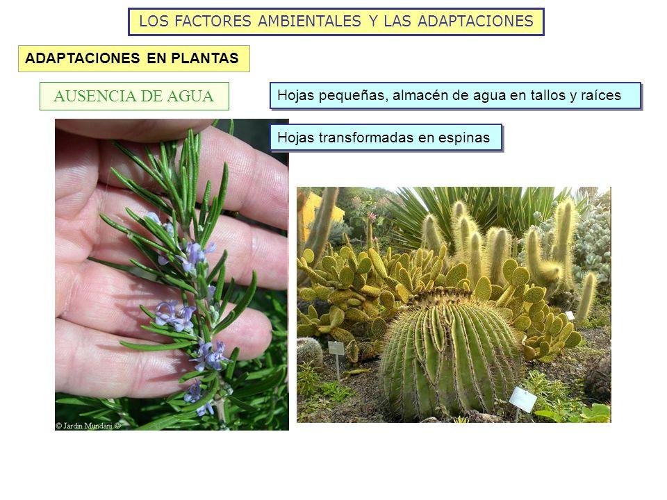 LOS FACTORES AMBIENTALES Y LAS ADAPTACIONES ADAPTACIONES EN PLANTAS AUSENCIA DE AGUA Hojas pequeñas, almacén de agua en tallos y raíces Hojas transfor
