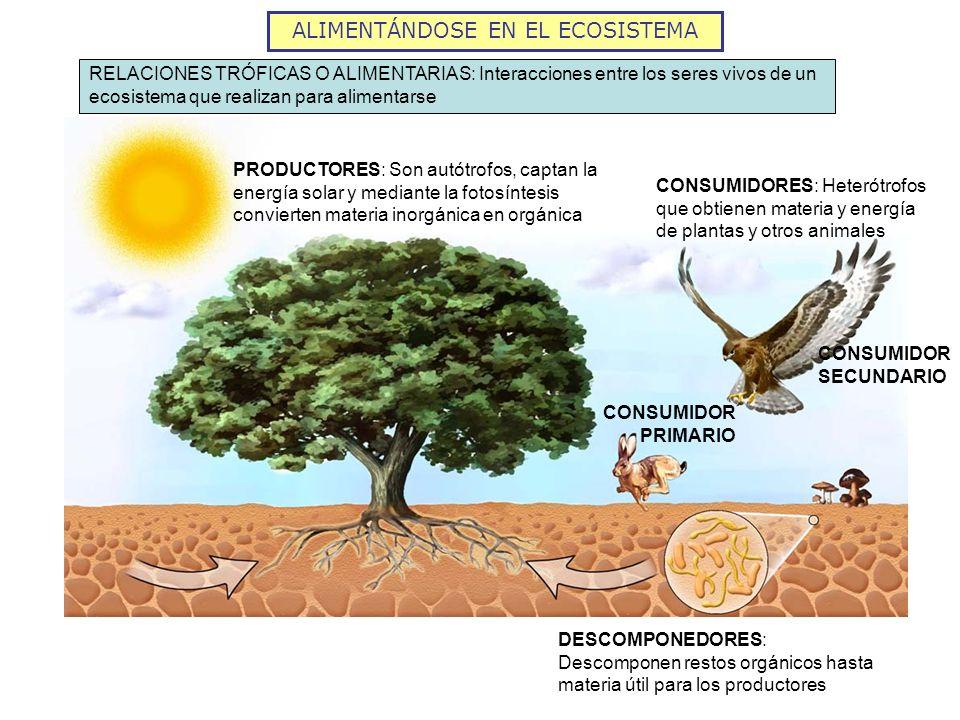PRODUCTORES: Son autótrofos, captan la energía solar y mediante la fotosíntesis convierten materia inorgánica en orgánica CONSUMIDOR PRIMARIO CONSUMID
