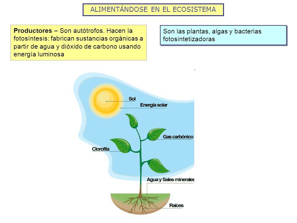 Productores – Son autótrofos. Hacen la fotosíntesis: fabrican sustancias orgánicas a partir de agua y dióxido de carbono usando energía luminosa Son l