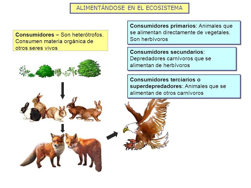 Consumidores – Son heterótrofos. Consumen materia orgánica de otros seres vivos Consumidores primarios: Animales que se alimentan directamente de vege