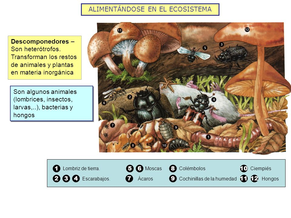 Descomponedores – Son heterótrofos. Transforman los restos de animales y plantas en materia inorgánica 1 Lombriz de tierra. 234 Escarabajos. Moscas 56