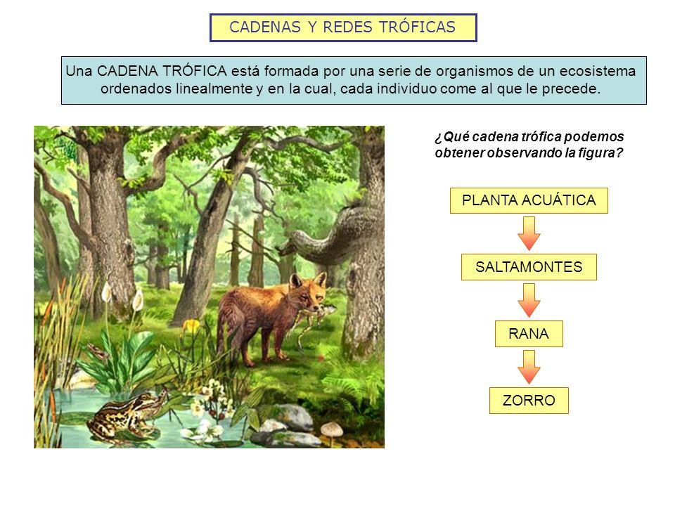 CADENAS Y REDES TRÓFICAS Una CADENA TRÓFICA está formada por una serie de organismos de un ecosistema ordenados linealmente y en la cual, cada individ