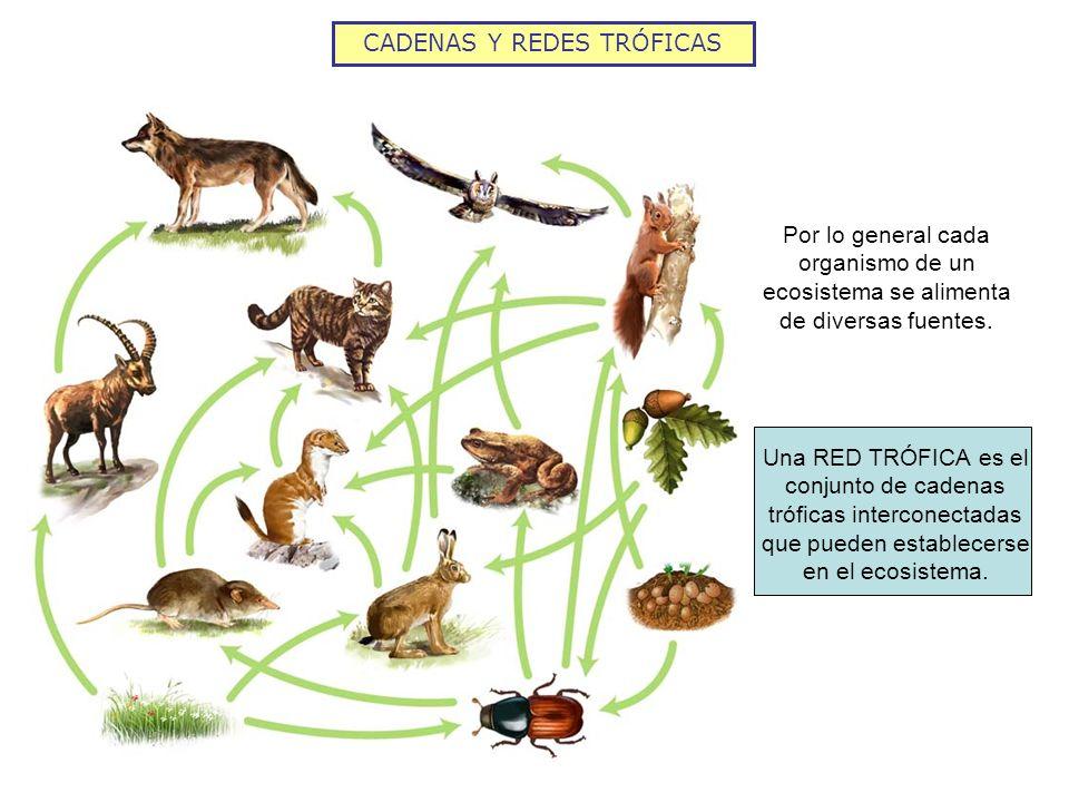 Una RED TRÓFICA es el conjunto de cadenas tróficas interconectadas que pueden establecerse en el ecosistema. Por lo general cada organismo de un ecosi