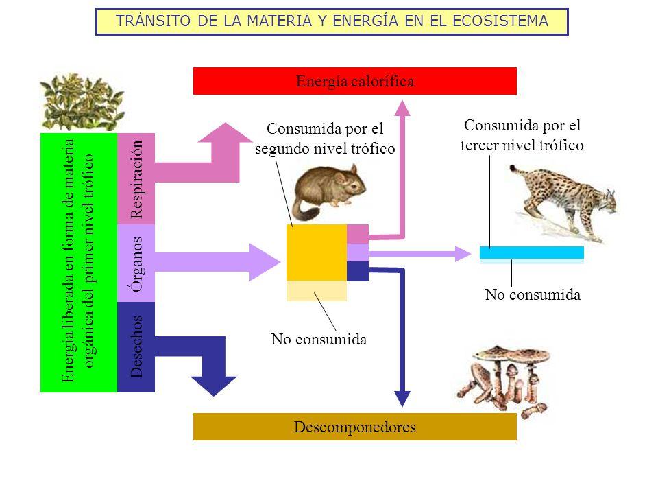 TRÁNSITO DE LA MATERIA Y ENERGÍA EN EL ECOSISTEMA Energía calorífica Descomponedores No consumida Consumida por el segundo nivel trófico Consumida por