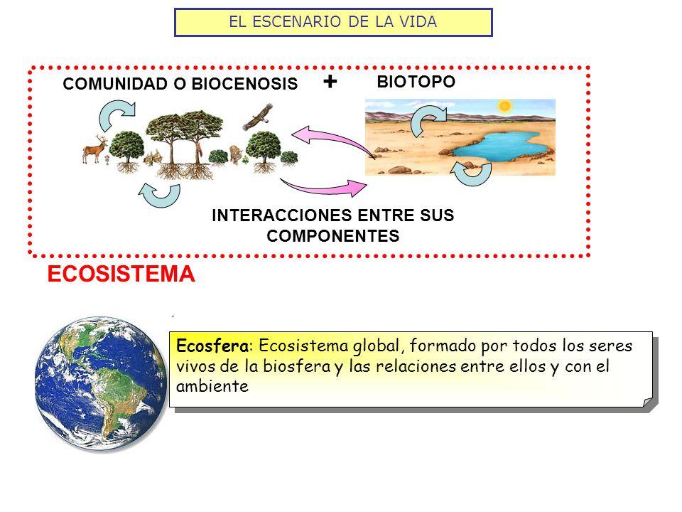 COMUNIDAD O BIOCENOSIS BIOTOPO + EL ESCENARIO DE LA VIDA INTERACCIONES ENTRE SUS COMPONENTES ECOSISTEMA Ecosfera: Ecosistema global, formado por todos