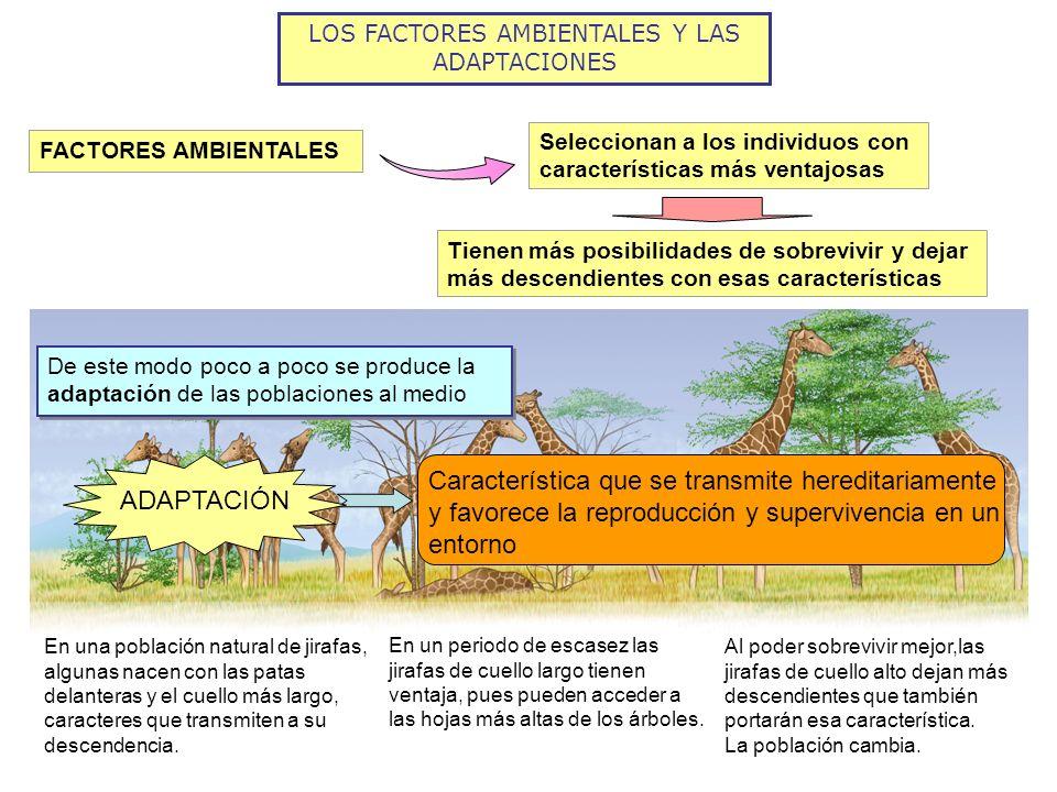LOS FACTORES AMBIENTALES Y LAS ADAPTACIONES FACTORES AMBIENTALES Seleccionan a los individuos con características más ventajosas Tienen más posibilida