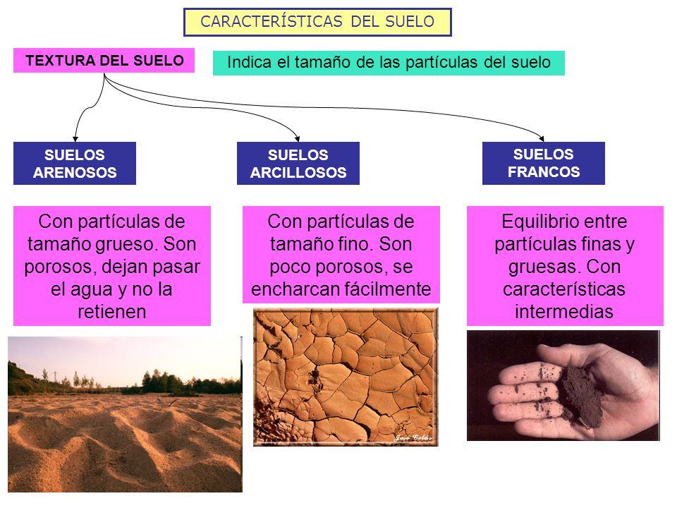 CARACTERÍSTICAS DEL SUELO TEXTURA DEL SUELO Indica el tamaño de las partículas del suelo SUELOS ARENOSOS SUELOS ARCILLOSOS SUELOS FRANCOS Con partícul