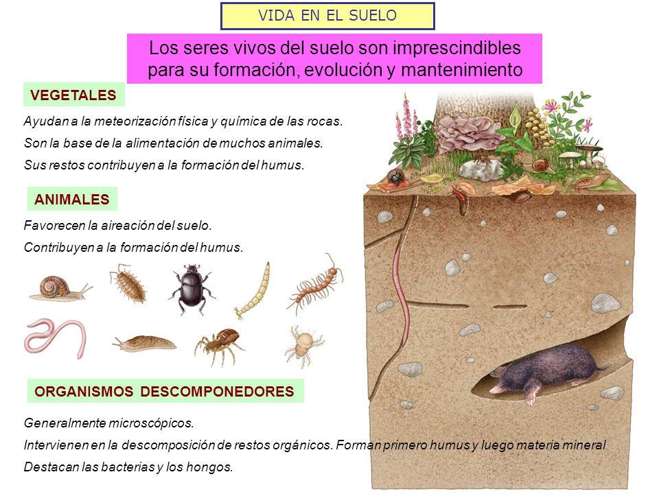 VIDA EN EL SUELO Los seres vivos del suelo son imprescindibles para su formación, evolución y mantenimiento VEGETALES ANIMALES ORGANISMOS DESCOMPONEDO