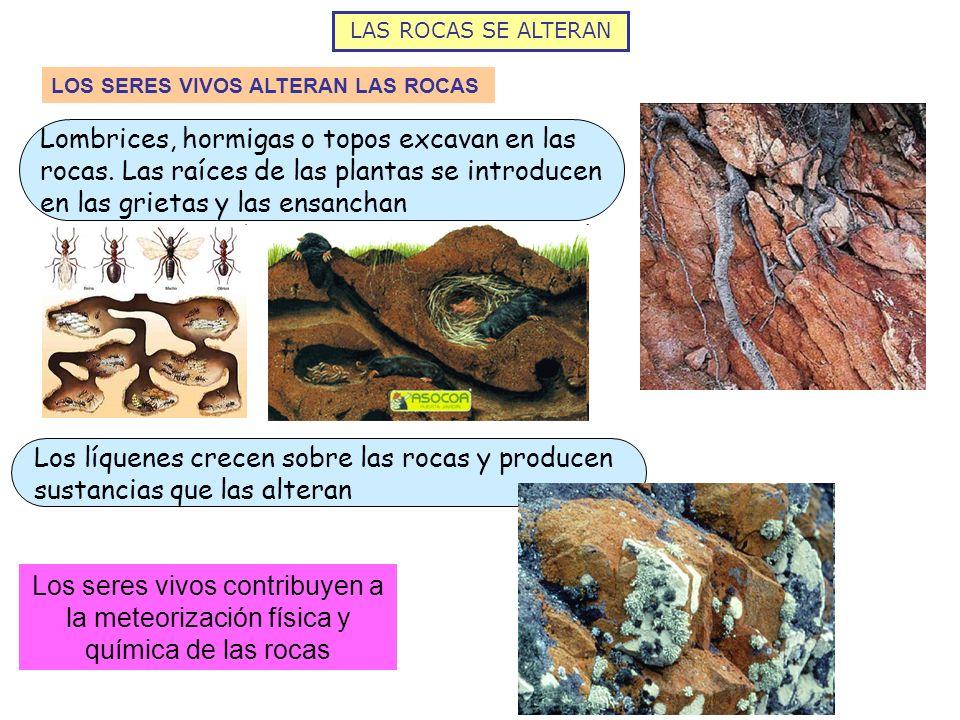 LAS ROCAS SE ALTERAN LOS SERES VIVOS ALTERAN LAS ROCAS Lombrices, hormigas o topos excavan en las rocas. Las raíces de las plantas se introducen en la