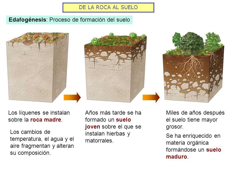 DE LA ROCA AL SUELO SUELOS AUTÓCTONOS Se originan sobre la roca madre.