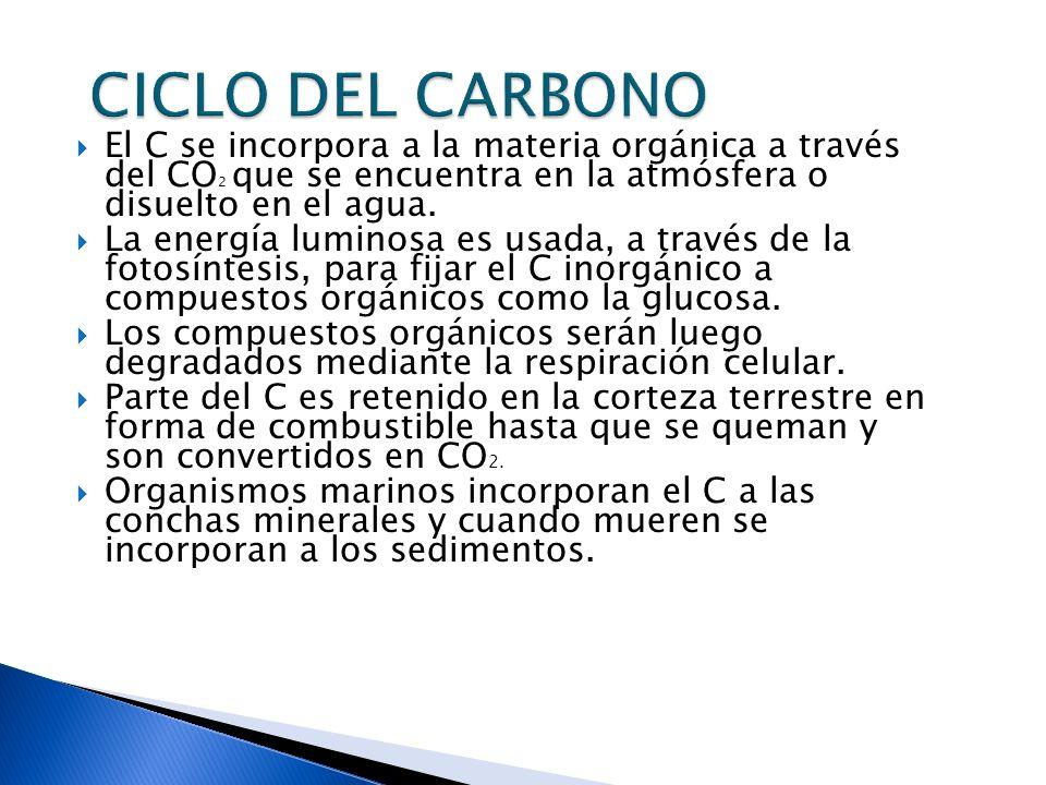 El C se incorpora a la materia orgánica a través del CO 2 que se encuentra en la atmósfera o disuelto en el agua. La energía luminosa es usada, a trav