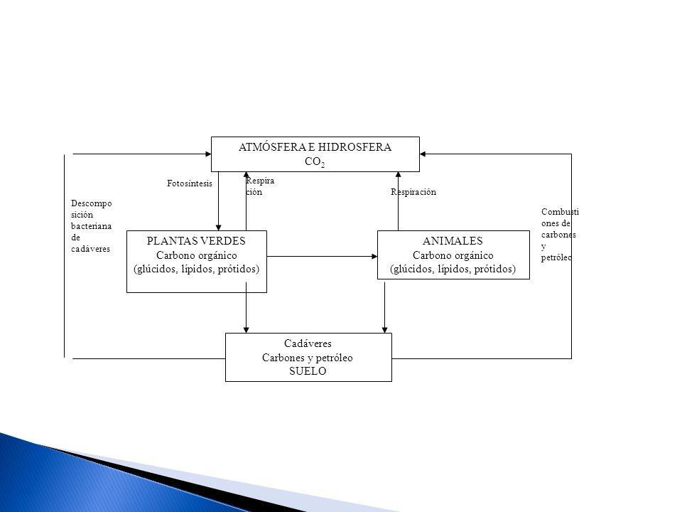 ATMÓSFERA E HIDROSFERA CO 2 Cadáveres Carbones y petróleo SUELO PLANTAS VERDES Carbono orgánico (glúcidos, lípidos, prótidos) ANIMALES Carbono orgánic