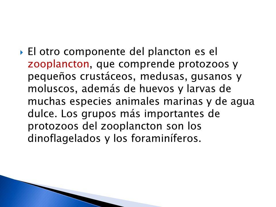 El otro componente del plancton es el zooplancton, que comprende protozoos y pequeños crustáceos, medusas, gusanos y moluscos, además de huevos y larv