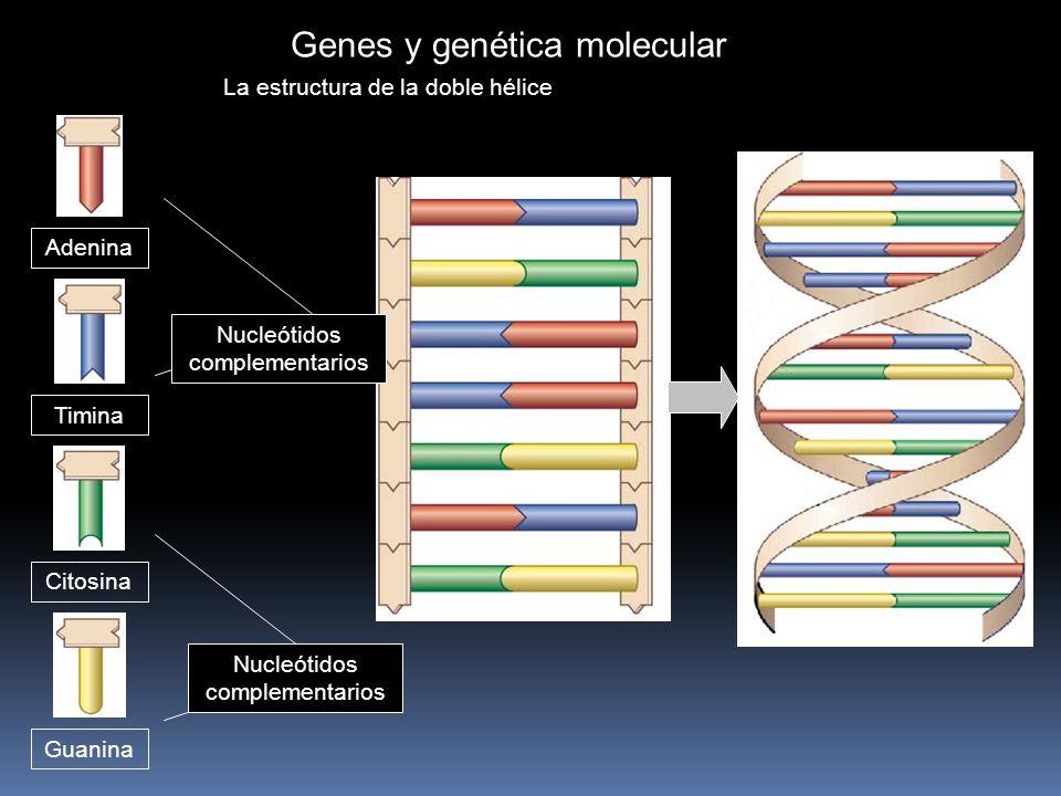 Genes y genética molecular La estructura de la doble hélice Adenina Timina Citosina Guanina Nucleótidos complementarios