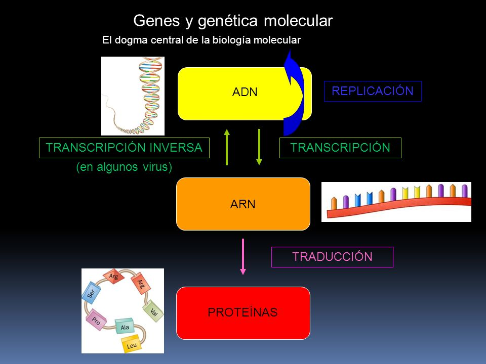 Genes y genética molecular El dogma central de la biología molecular ADN ARN PROTEÍNAS REPLICACIÓN TRANSCRIPCIÓN TRANSCRIPCIÓN INVERSA (en algunos virus) TRADUCCIÓN