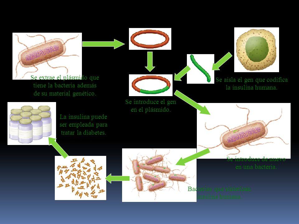Se extrae el plásmido que tiene la bacteria además de su material genético.
