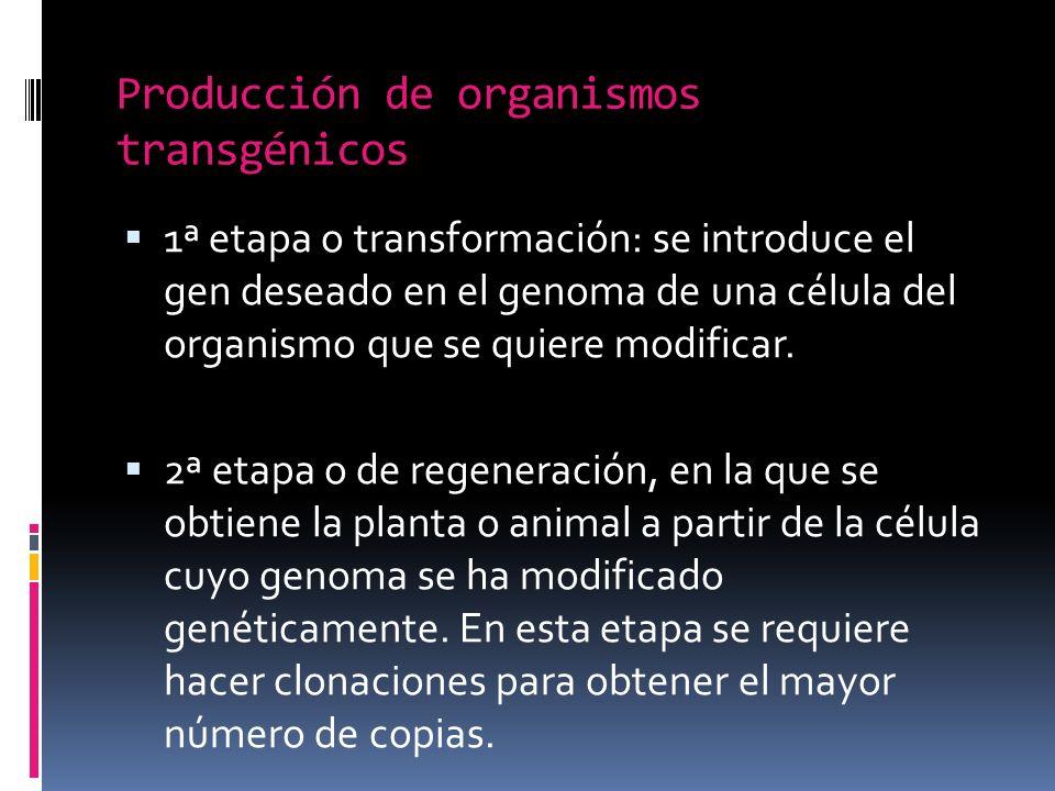 Producción de organismos transgénicos 1ª etapa o transformación: se introduce el gen deseado en el genoma de una célula del organismo que se quiere modificar.