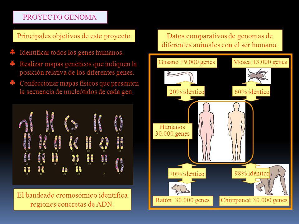 60% idéntico70% idéntico 98% idéntico 20% idéntico Gusano 19.000 genesMosca 13.000 genes Ratón 30.000 genesChimpancé 30.000 genes Principales objetivos de este proyecto El bandeado cromosómico identifica regiones concretas de ADN.