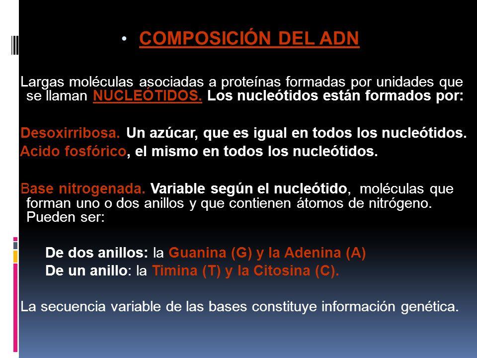 COMPOSICIÓN DEL ADN Largas moléculas asociadas a proteínas formadas por unidades que se llaman NUCLEÓTIDOS.