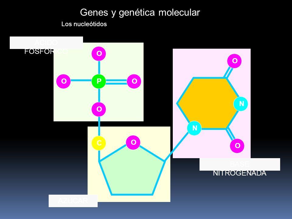 Genes y genética molecular Los nucleótidos OO O N N C O O P O O ÁCIDO FOSFÓRICO AZUCAR BASE NITROGENADA