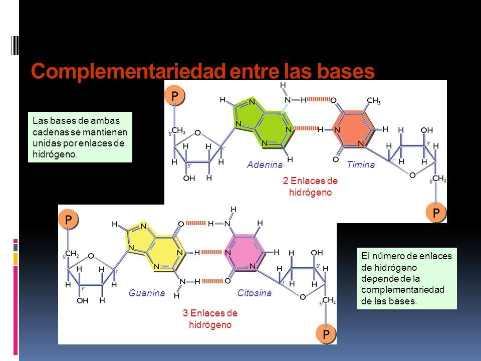 Complementariedad entre las bases Las bases de ambas cadenas se mantienen unidas por enlaces de hidrógeno.
