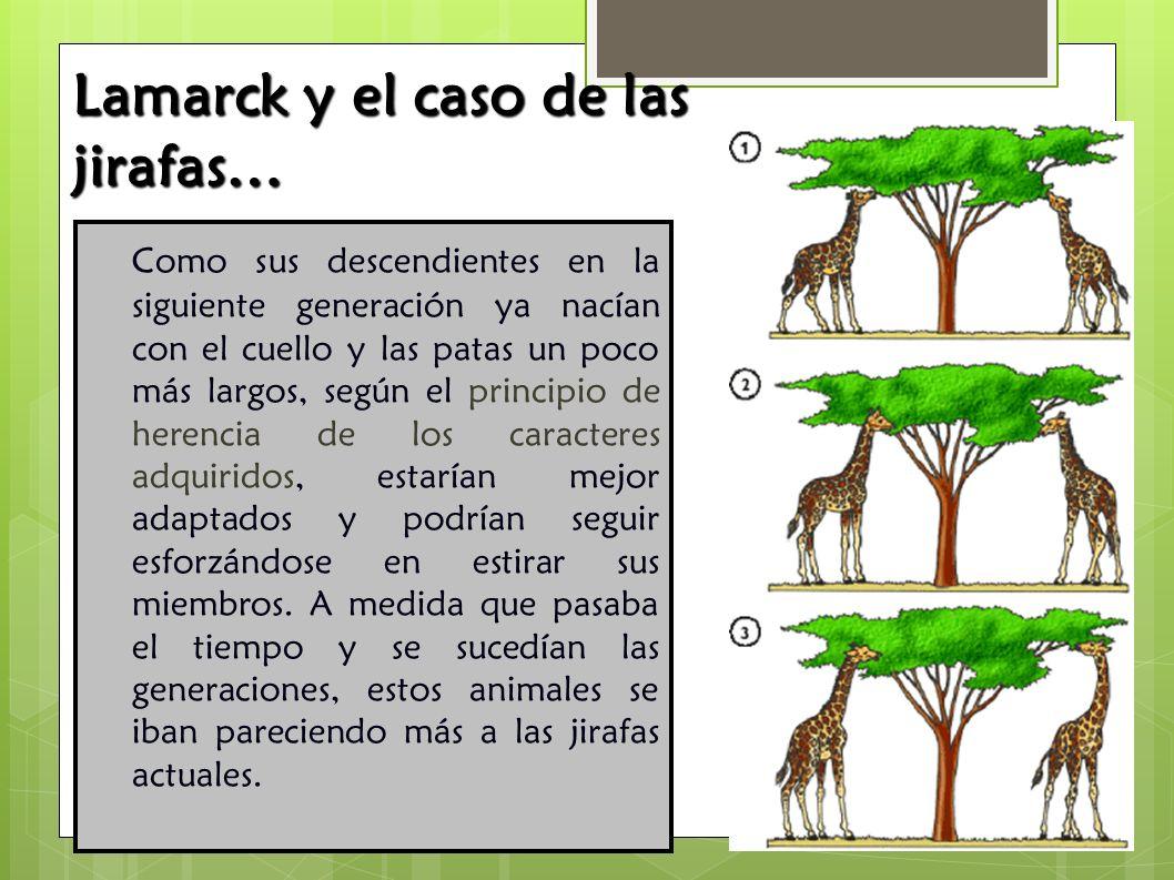 Como sus descendientes en la siguiente generación ya nacían con el cuello y las patas un poco más largos, según el principio de herencia de los caract