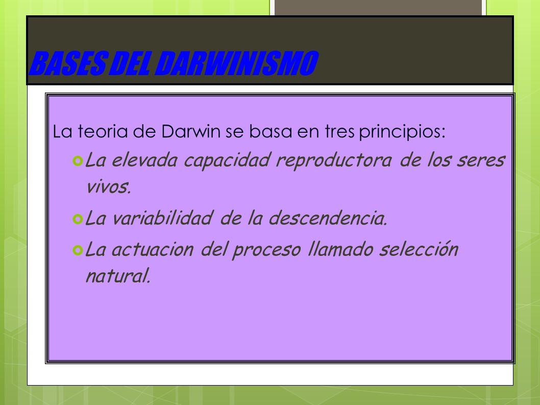 BASES DEL DARWINISMO La teoria de Darwin se basa en tres principios: La elevada capacidad reproductora de los seres vivos. La variabilidad de la desce